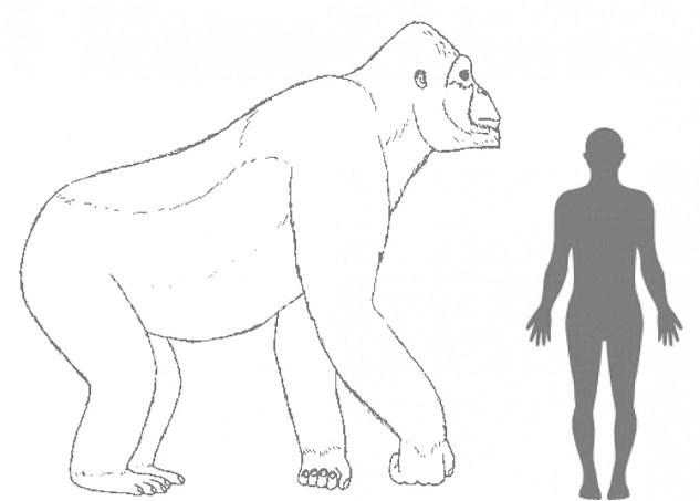 Gigantopithecus'un bir insandan yaklaşık 5 kat daha ağır ve maksimum 3 metre uzunluğunda olduğuna inanılıyor.