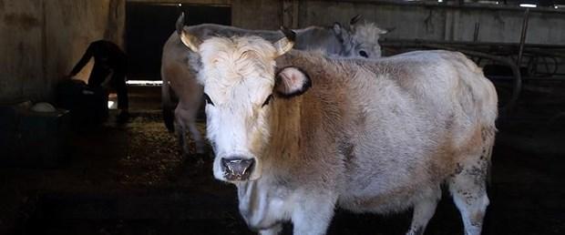 sığır.jpg