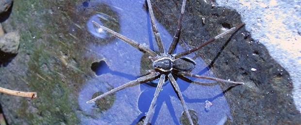 katil-örümcek.jpg