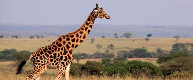 zürafa.jpg