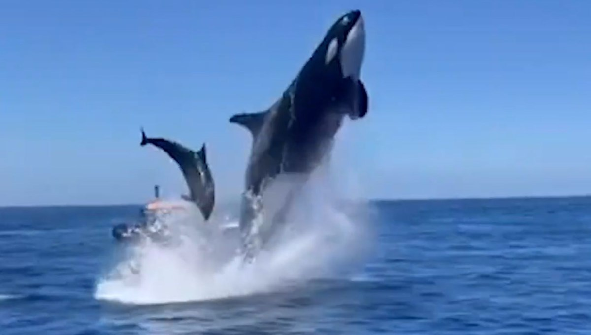 Couldn't believe their eyes: The killer whale jumped meters high