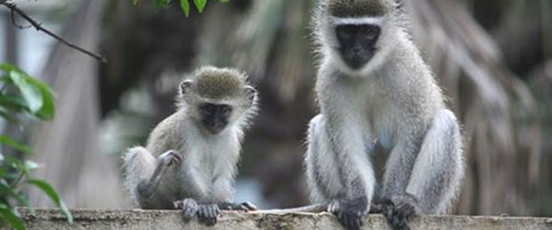 Alkolik maymunlar 'insan' misali