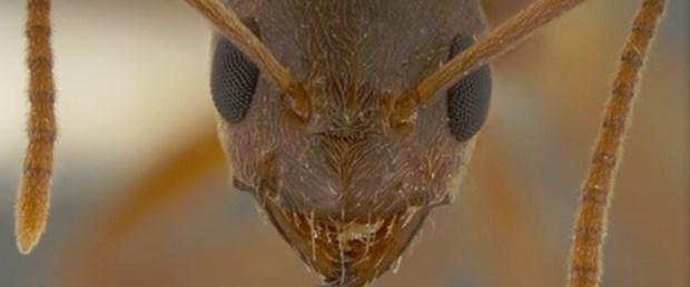 Amerika'da 'çılgın karınca' alarmı