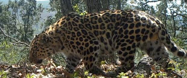 Amur leoparına ait nadir video