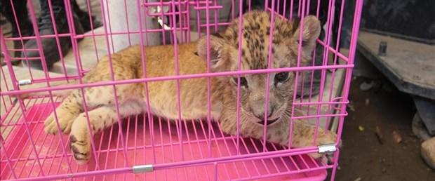 şırnak aslan yavrusu.jpg