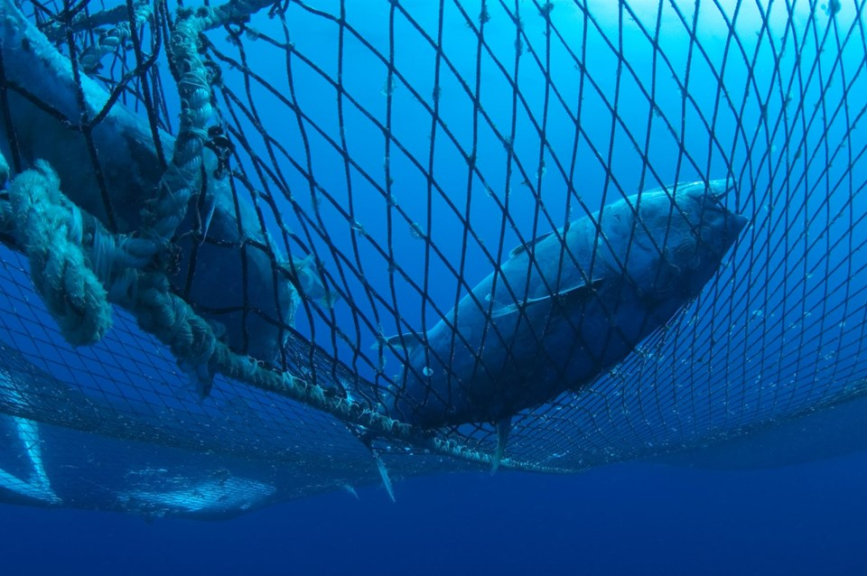 Captive Bluefin Tuna inside a transport cage.Greenpeace is calling on the countries of the Mediterranean to protect bluefin tuna with marine reserves in their breeding and feeding areas.