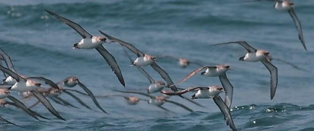yelkovan kuşları