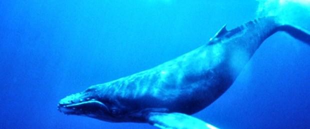 Balinaların sonu ne olacak?