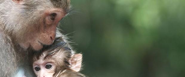 Bazı maymunlar HIV'e dirençli