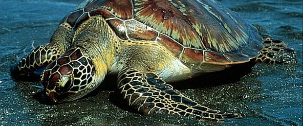 Binlerce kaplumbağa denizle buluştu