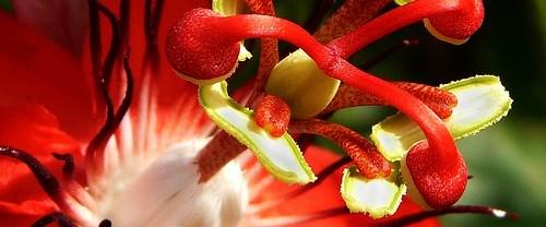 Bir tutku çiçeği