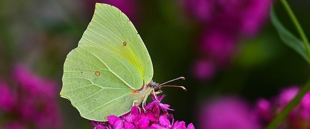 kelebek yeni tür.jpg