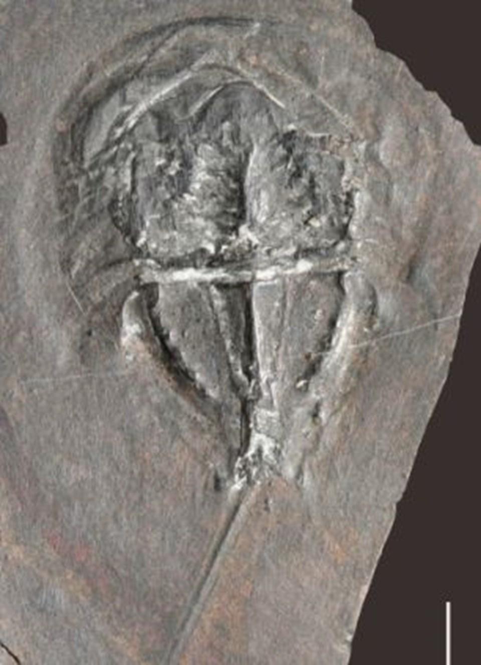 Atnalı yengeci fosili.