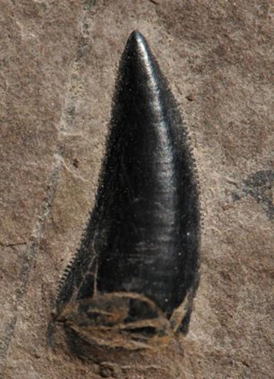 Bir çok dinozor türüyle doğrudan akraba olan Archosaurus'a ait bir diş.