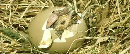 """Canlı yayında """"yumurtadan çıkış"""""""