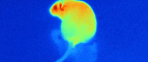 Cep telefonu fareleri hiperaktif yaptı