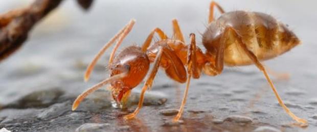 Çılgın karıncalar elektronikleri istila ediyor