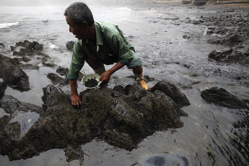 AGuotaiDeniz Ürünleri Çiftliği'nde bir görevli ölü salyangozları topluyor. Bulunduğu alan petrol sızıntısının olduğu bölgeye bir kilometre uzaklıkta.