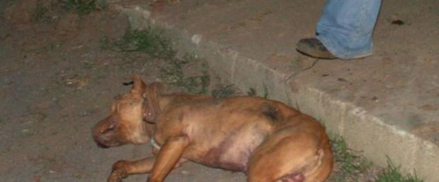 Çocuğa saldıran Pitbul öldürüldü
