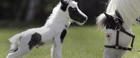 Dünyanın en küçük atı