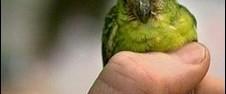 Dünyanın en küçük papağanı