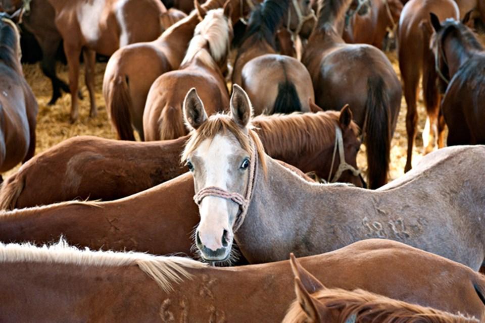 Bursa'daki Karacabey Harası'nda sadece Arap atı üretiliyor. İşletmede 400 baş civarında safkan Arap atı var ve her yıl ortalama 140–150 baş at satışı yapılıyor.