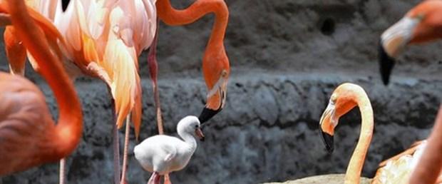 Flamingolar rekor kırdı
