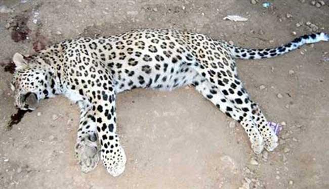 Gabar'da leoparın izinde