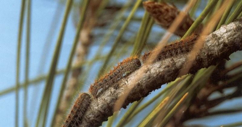 Çam kese böceği