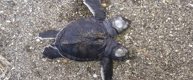 iki-başlı-kaplumbağa.jpg