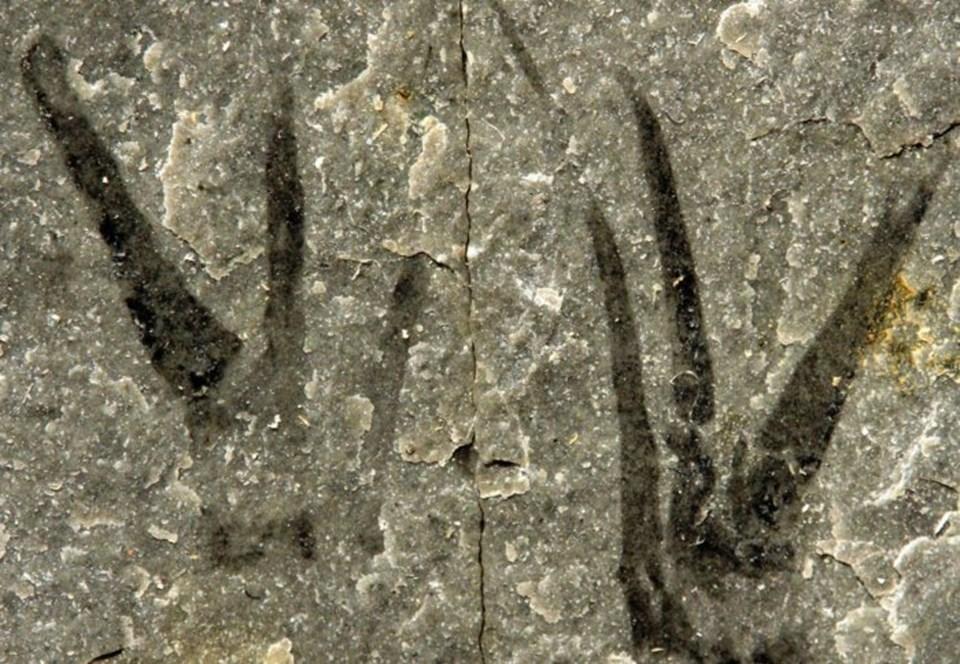'Makas Eller'in fosili.