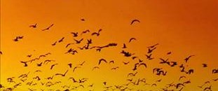 Kaçak avcılar kuşları yokediyor