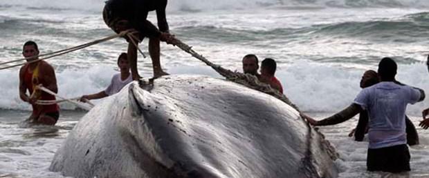 Kambur balinalara ne oluyor?