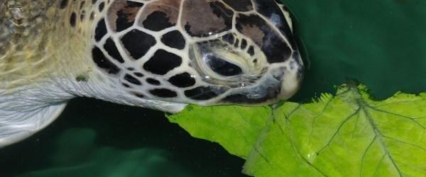 Kaplumbağa hastanesi açıldı