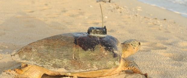 Kaplumbağalara uydudan takip
