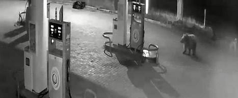 benzin istasyonu bozayı.jpg