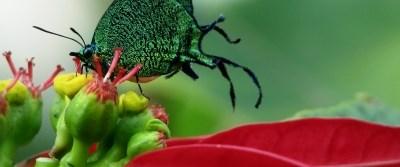 Kelebekler de erken olgunlaşıyor