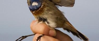 """Kızılırmak Deltası'nda """"kuş halkalamak"""""""