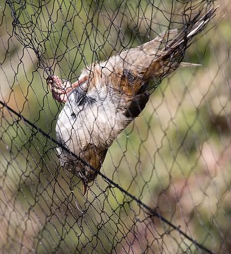 Sis ağlarına takılan kuşlar halkalanıyorlar...