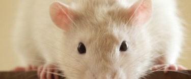Kök hücrelerle fare üretildi