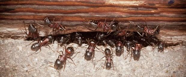 Köle karıncalar baskıcı rejime isyan ediyor