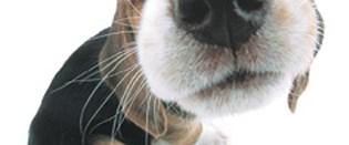 Köpekler, hipogliseminin kokusunu alabiliyor