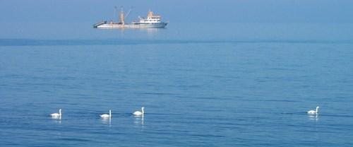 Kuğular Karadeniz'de