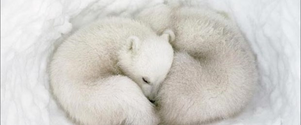 Kutup ayıları Rusya'da mutlu