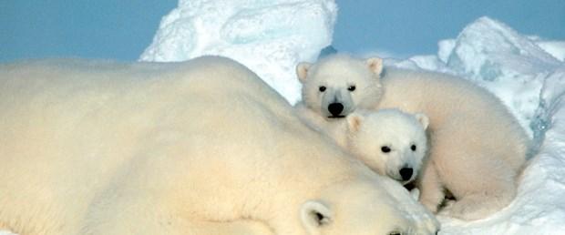 Ne olacak kutup ayılarının sonu?