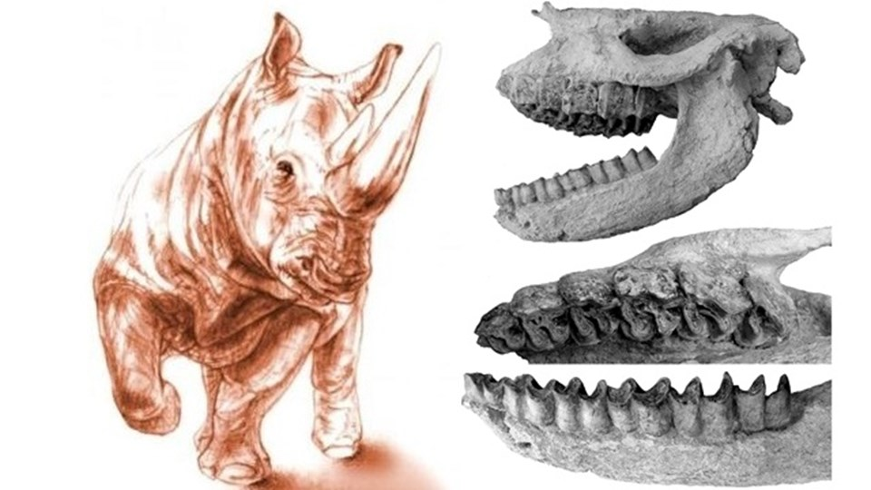 Ceratotherium neumayri ve Karacaşar'da bulunan kafatası.