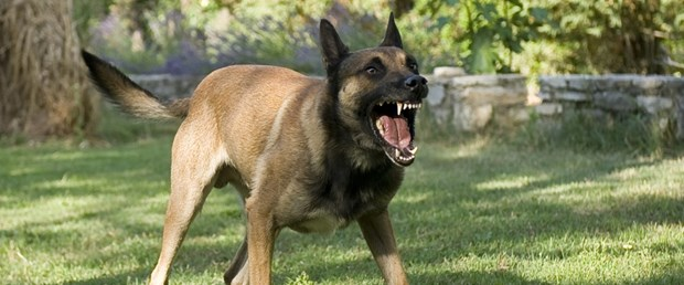 photodune-2613629-dangerous-dog-m.jpg