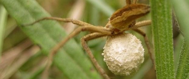 Örümceğin dişlerindeki hazine