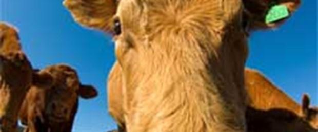 Oryantal dinleyen ineklerin sütü artıyor