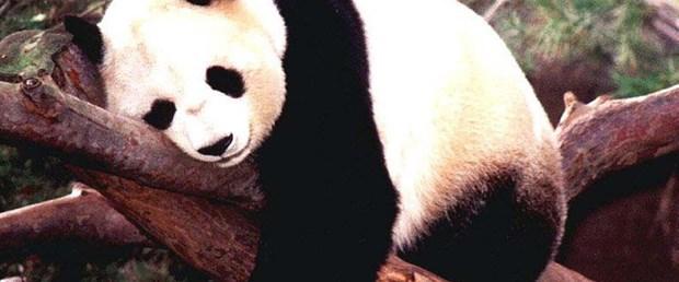 Pandaları tüp bebek yöntemi kurtardı